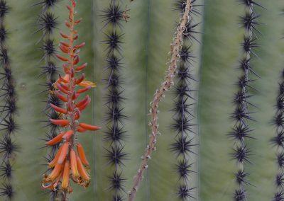 Aloe plant close up