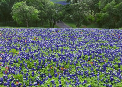 Purple bonnets in a flower field in the forest