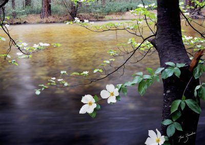 Dogwood and water in the forest