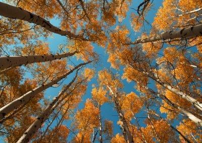 Upward look of dense trees in the fall