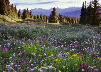 Flower field with forest in background