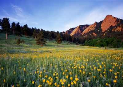 Flower field with mountain range and forest