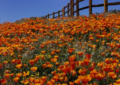 Orange and red flowers with fence and sky